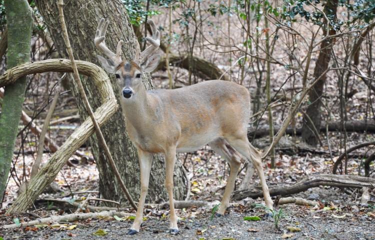 deerf