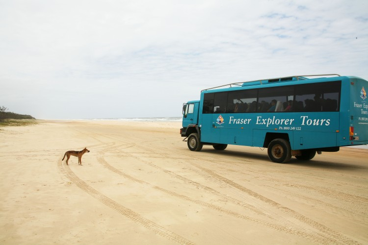 Dingo in front of Fraser Island Tour bus