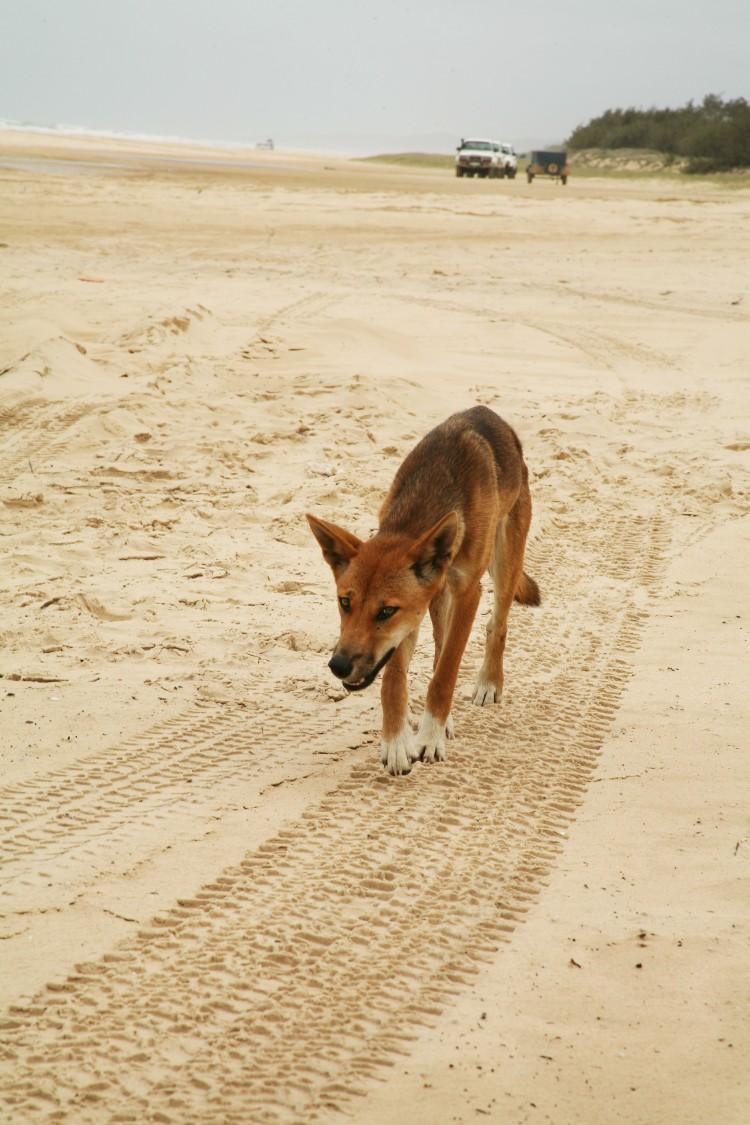 Dingo on Fraser Island