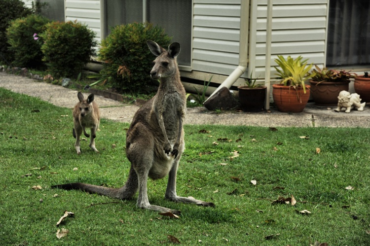 Kangaroos in backyard